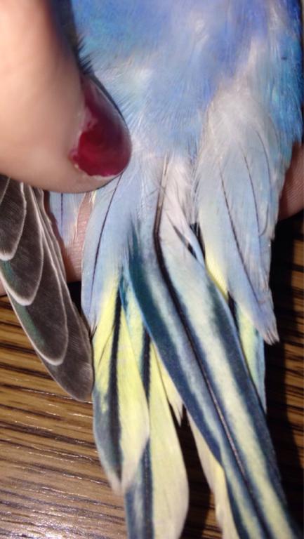 Broken feather maybe? Help!-imageuploadedbypg-free1445564960.547621.jpg