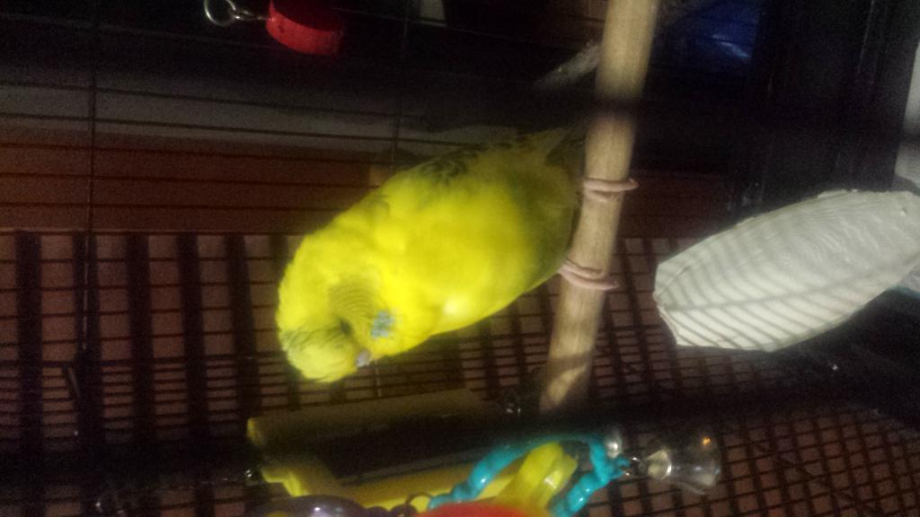 charlie is learning to talk on top of his cage:)-img-1430136428521-v.jpg