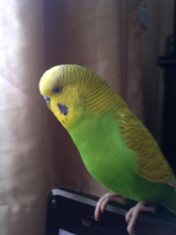 Can someone tell me the mutation of my budgie?-img-20120729-02582.jpg