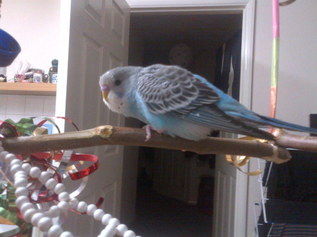 what colour is my budgie?-img-20131207-01626.jpg