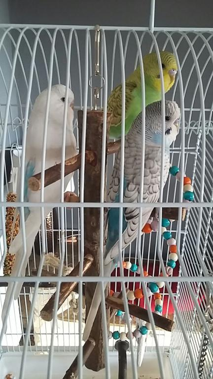 All 3 budgies have fell out :-(-img-20161129-wa0004%5B1%5D.jpg