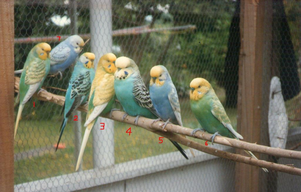 my budgies during 1990s.-img158.jpg