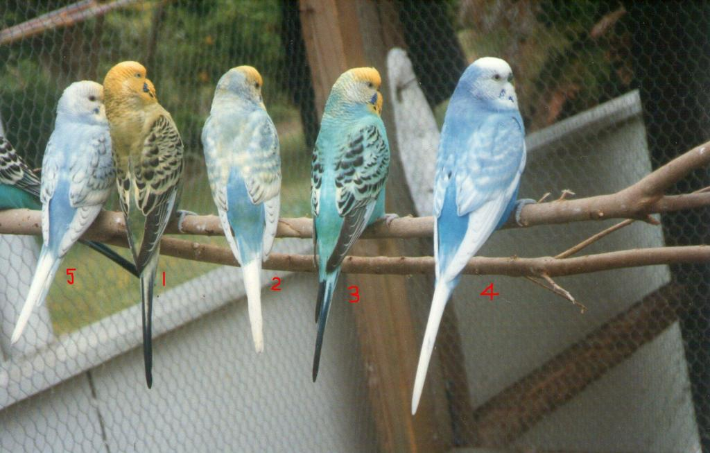 my budgies during 1990s.-img159.jpg