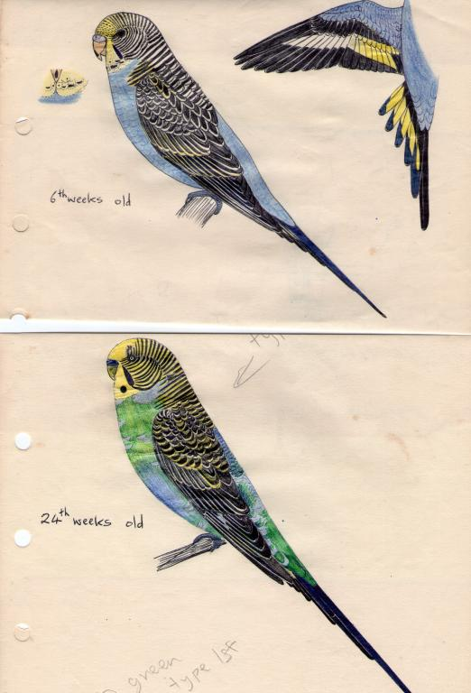Budgie moults-img171.jpg