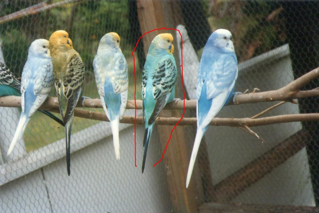 my budgies during 1990s.-img193.jpg