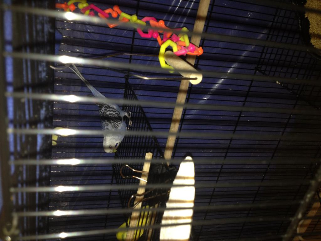 budgie backs butt up high against cage-img_0009.jpg