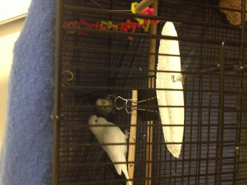 budgie backs butt up high against cage-img_0015.jpg
