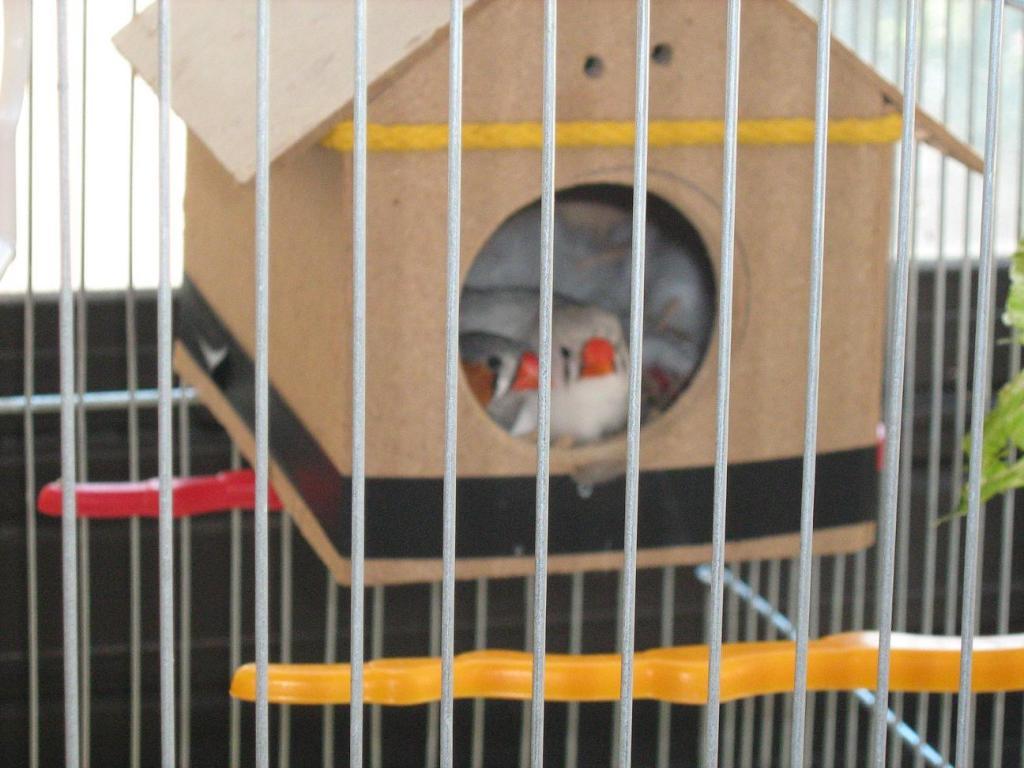 My Zebra Finch layed 1 egg !-img_0148.jpg