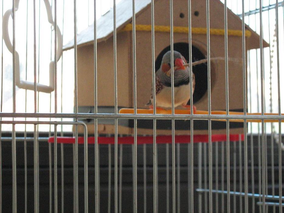 My Zebra Finch layed 1 egg !-img_0153.jpg