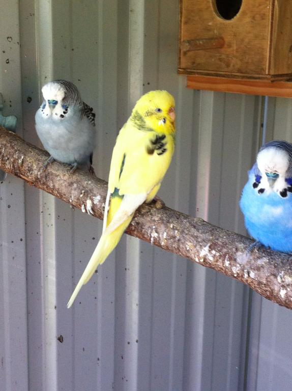 Confused about budgies mutation-img_0193.jpg