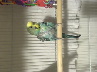 Rescued Neglected Parakeets-img_0207.jpg