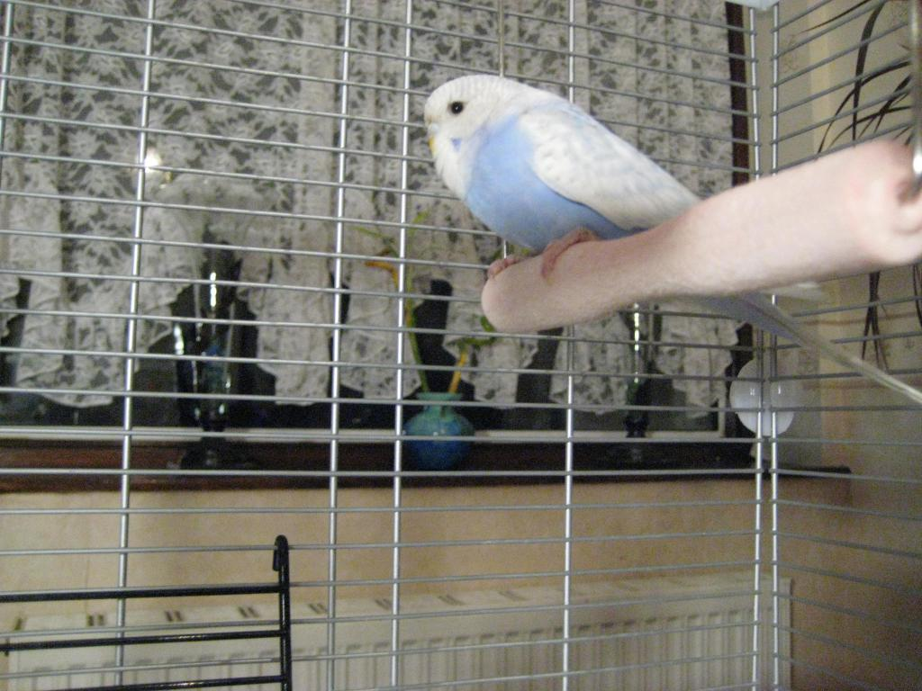Please Give Me Details of The Colour & Appearance of my Budgie!-img_0217.jpg