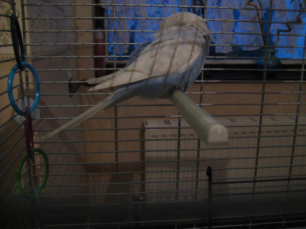 Please Give Me Details of The Colour & Appearance of my Budgie!-img_0224.jpg