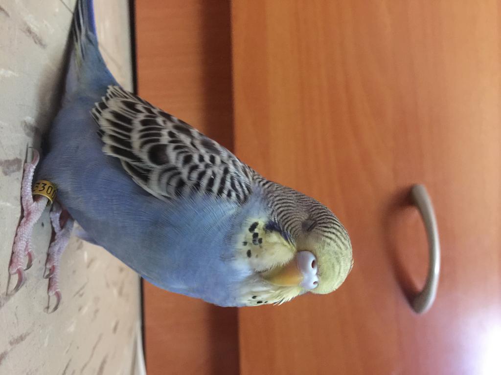 Few questions of my parakeets (sex & gender)-img_0262.jpg