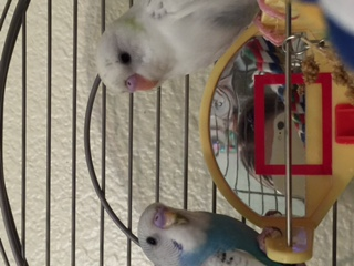 Questions re my new budgies-img_0287.jpg