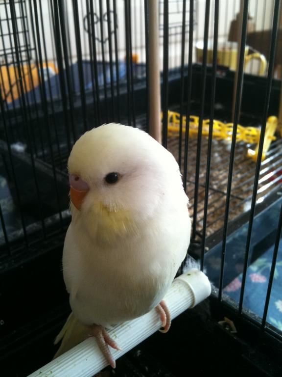 What kind of budgie is this?-img_0371.jpg