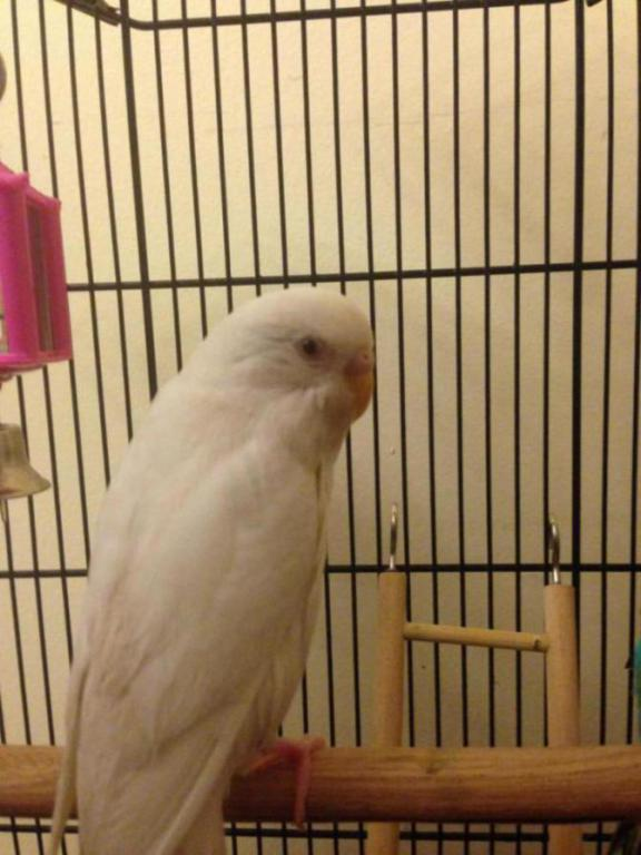 Does my budgie have respiratory disease-img_0438_1484670091365.jpg