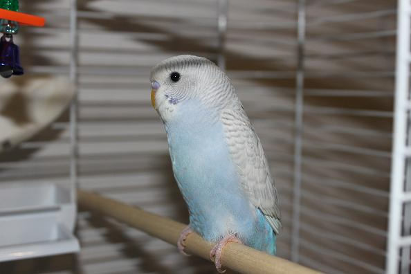 What mutation is my new budgie?-img_0441.jpg