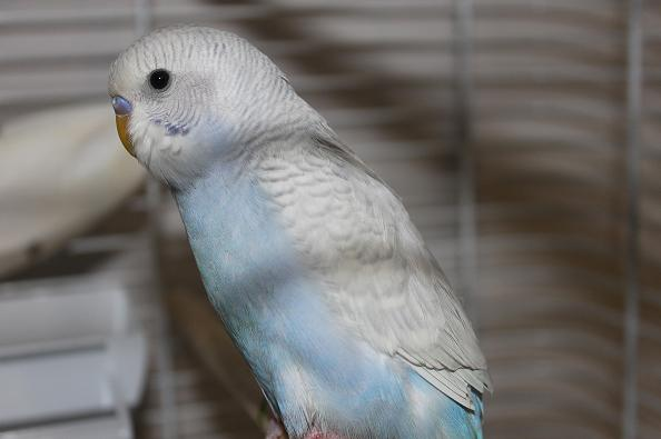 What mutation is my new budgie?-img_0444.jpg