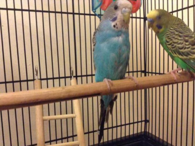 Does my budgie have respiratory disease-img_0493_1484670070476.jpg