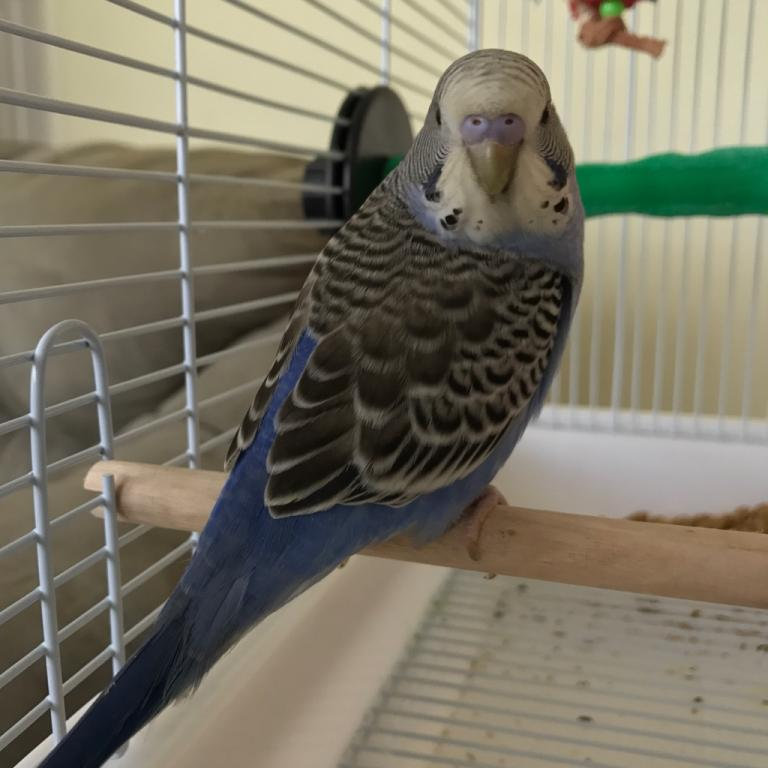 New young budgie-img_0506.jpg