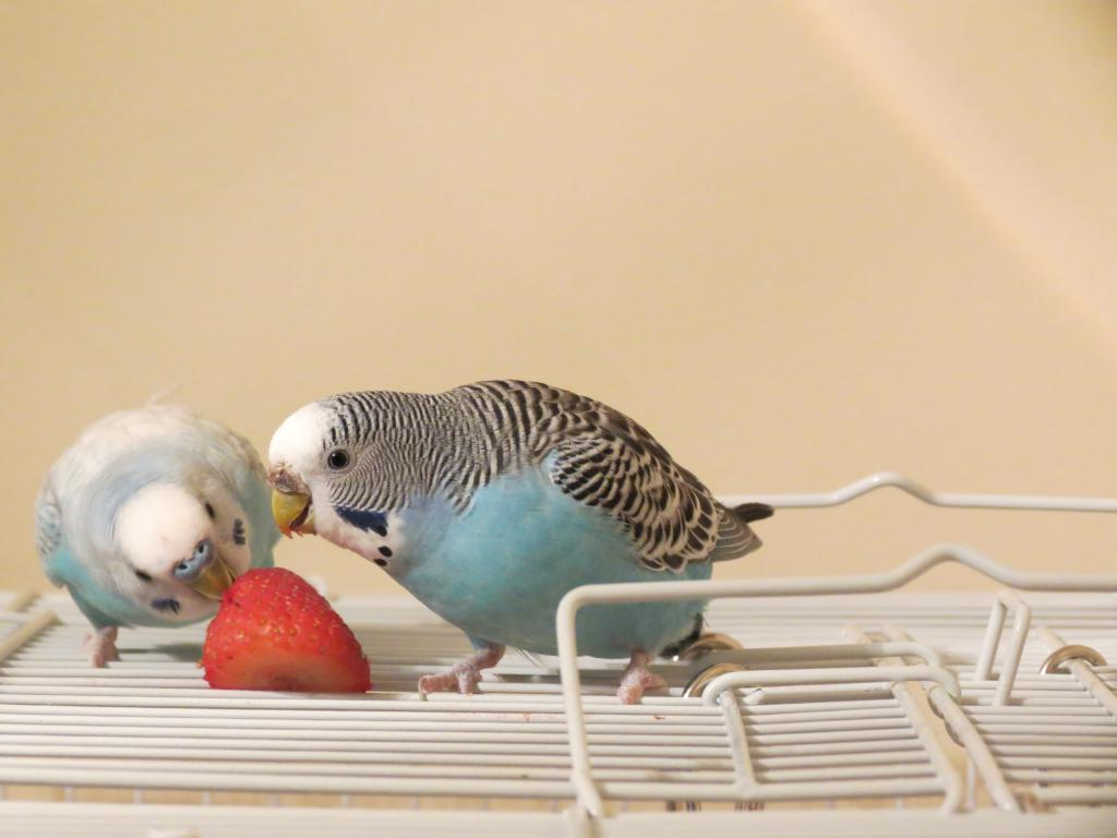 Blu and Jewel enjoying their First Strawberry-img_0587.jpg