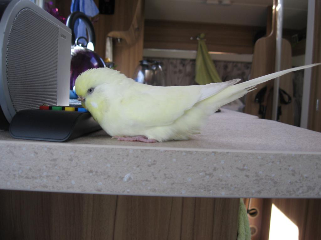 August 2016 Budgie of the Month-img_0621.jpg