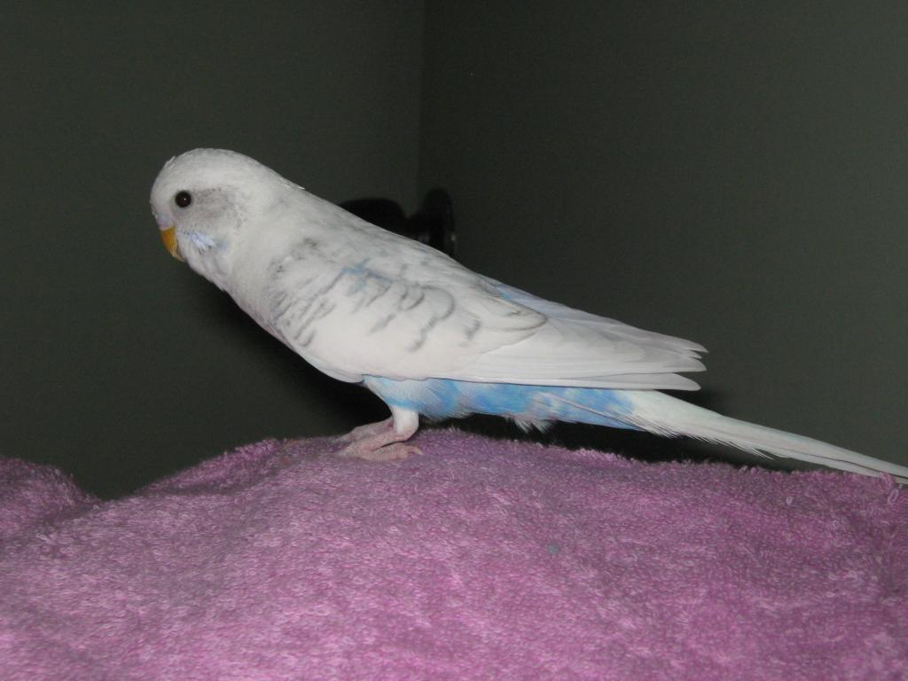 Could someone please tell me what sort of budgie I have?-img_0662.jpg