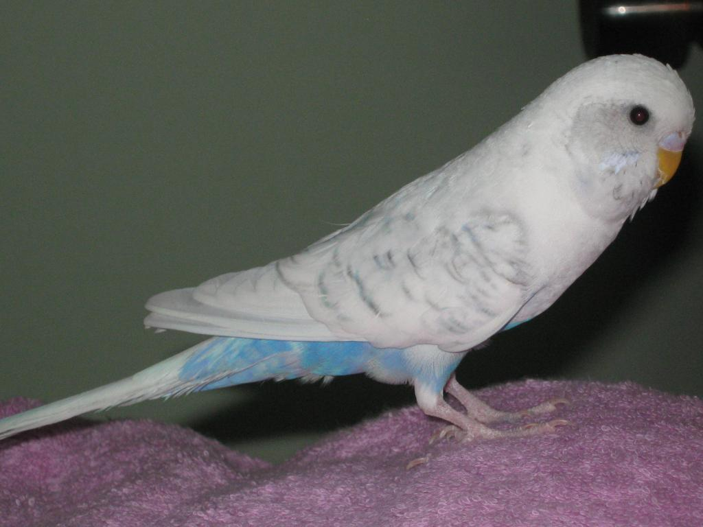 Could someone please tell me what sort of budgie I have?-img_0663.jpg