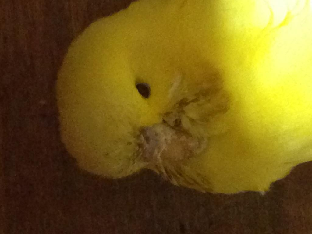Notice an issue with budgies beak-img_0697.jpg