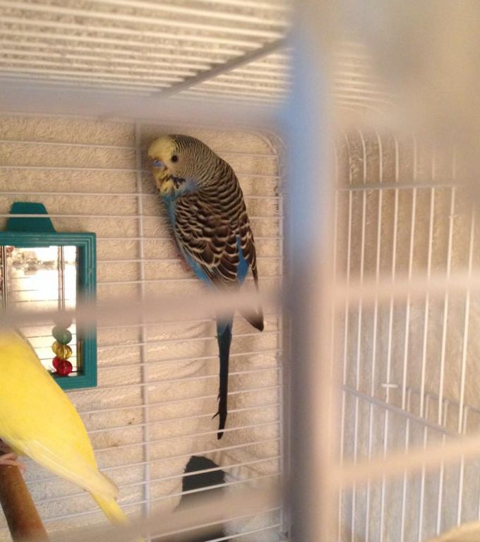 My budgie is sleeping on the side of the cage-img_0752.jpg