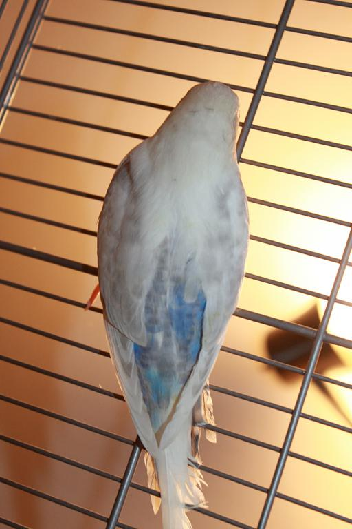 Grey and Blue Budgie- confused!-img_0884.jpg