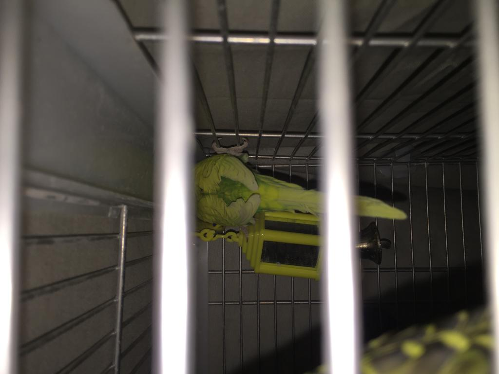 My budgie is so chatty... he falls asleep while chirping....-img_1103.jpg