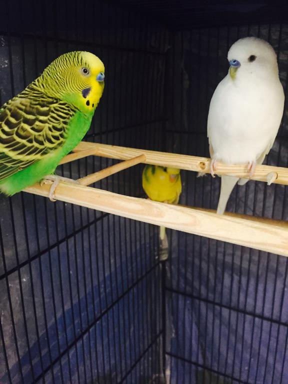 budgie backs butt up high against cage-img_1440.jpg