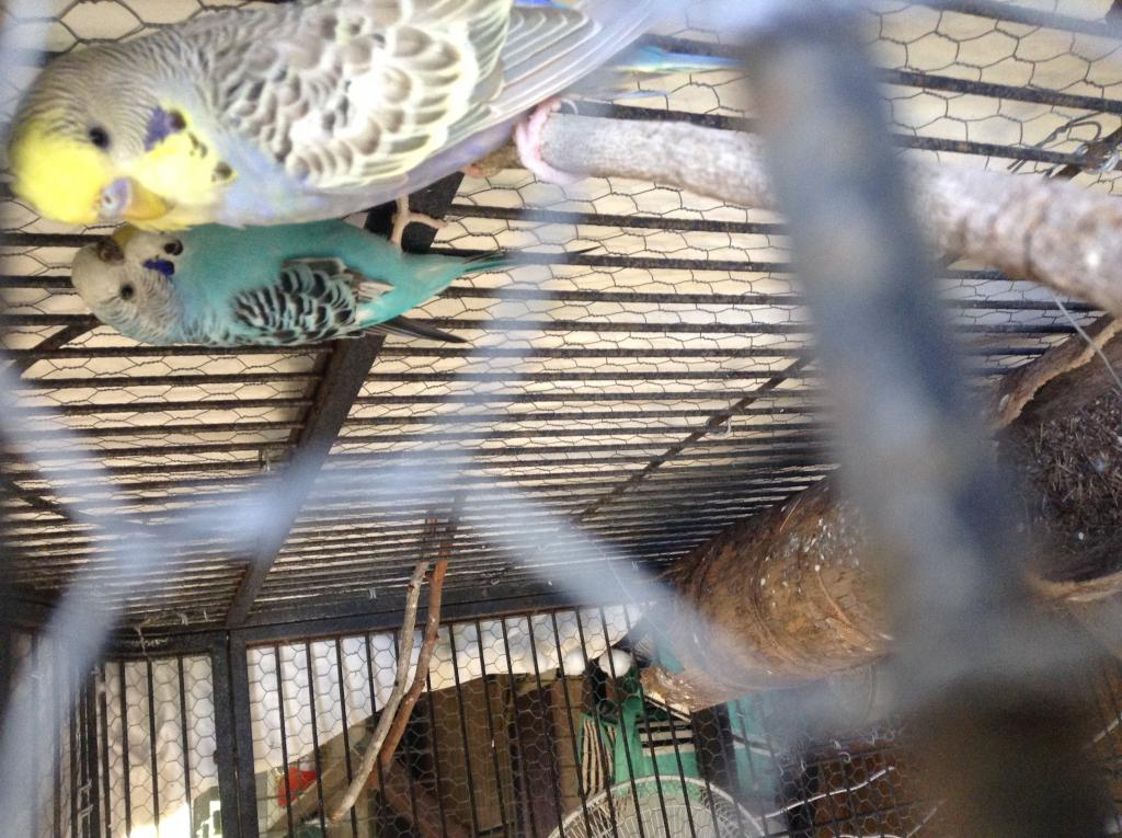 What should I name my new budgie?-img_1474%5B1%5D.jpg