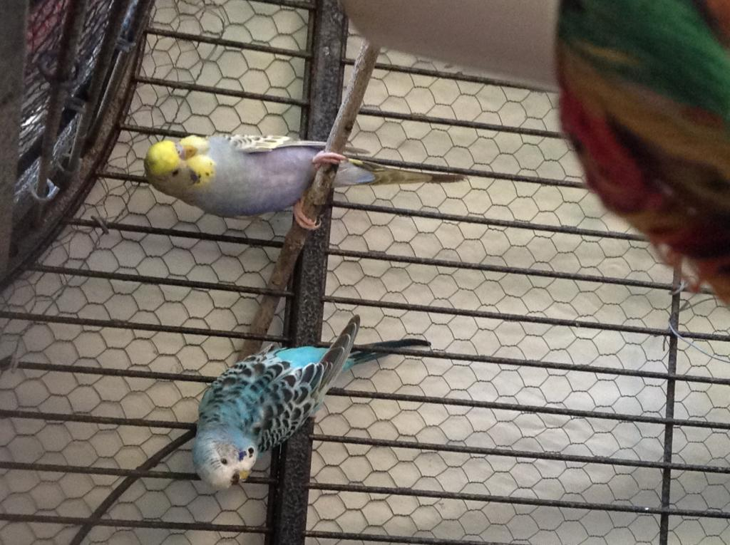 What should I name my new budgie?-img_1482%5B1%5D.jpg
