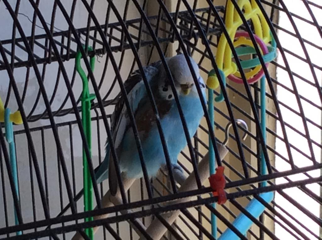 Help needed from budgie expert-img_1512.jpg