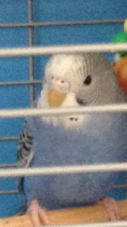 Please help me determine the sex of my budgie!-img_1926.png