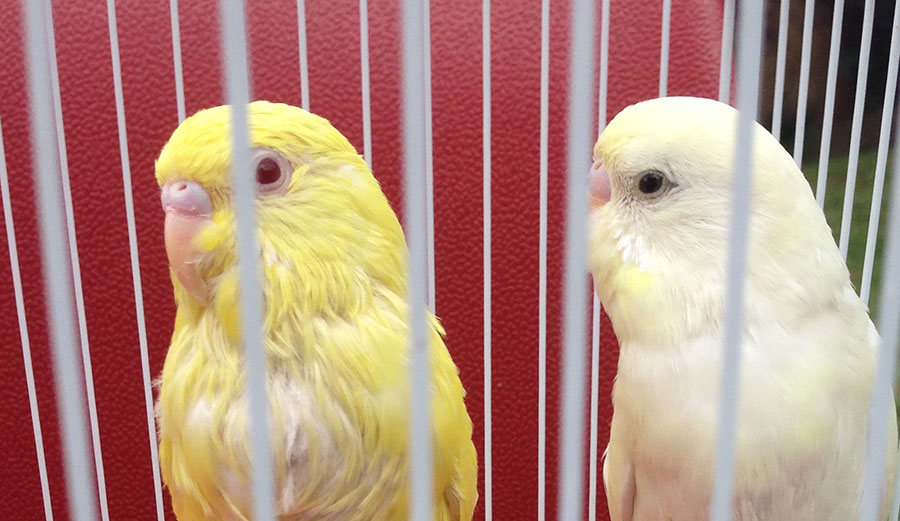 Pretty white budgie - boy/girl?-img_1981.jpg