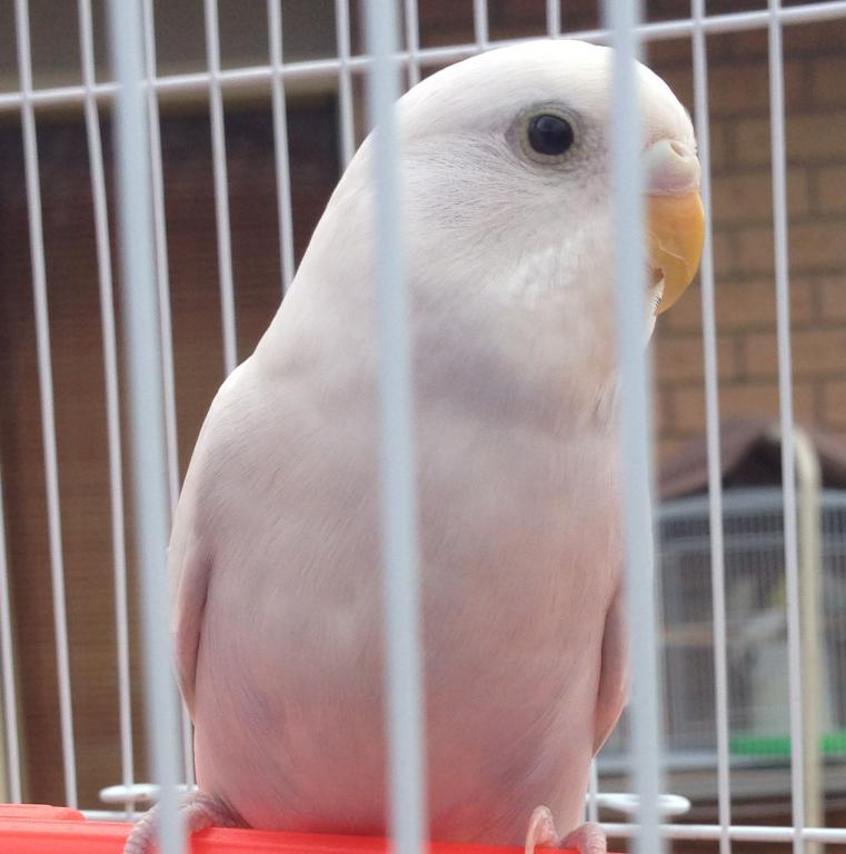 Pretty white budgie - boy/girl?-img_1982.jpg