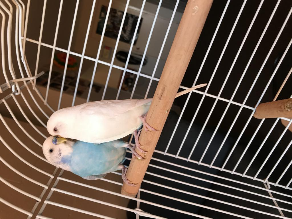 My new budgies-img_1989.jpg