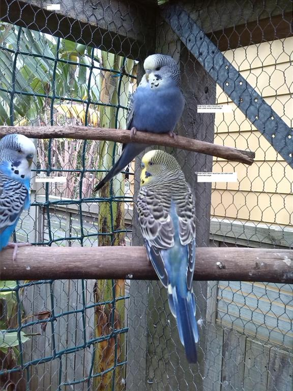 Yellow-faced violet-cobait budgies.-img_20130908_131712.jpg