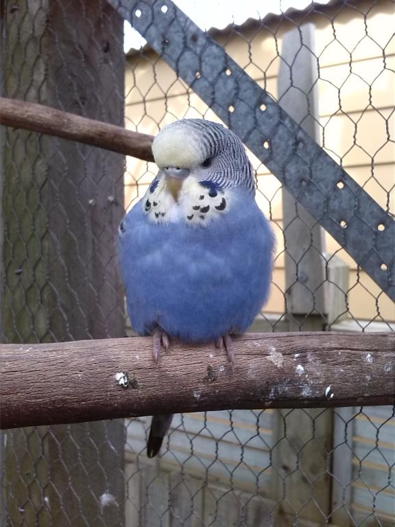Yellow-faced violet-cobait budgies.-img_20130908_144501.jpg
