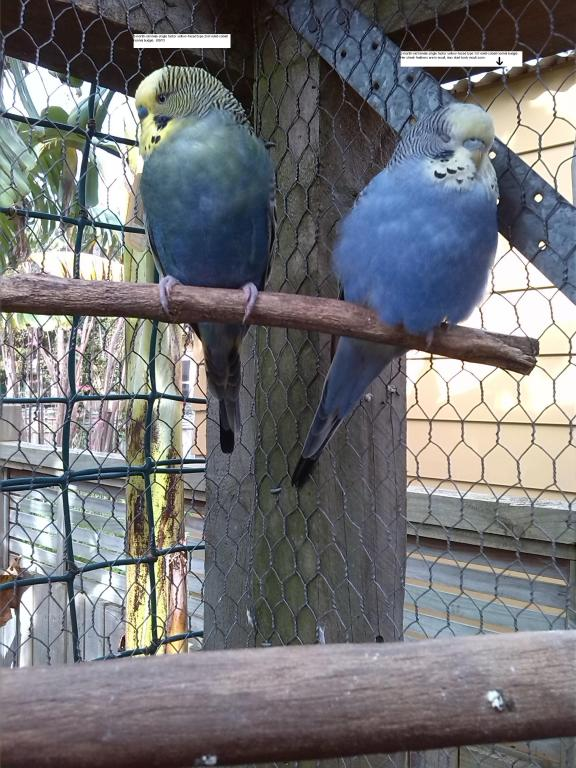 Yellow-faced violet-cobait budgies.-img_20130908_144855.jpg