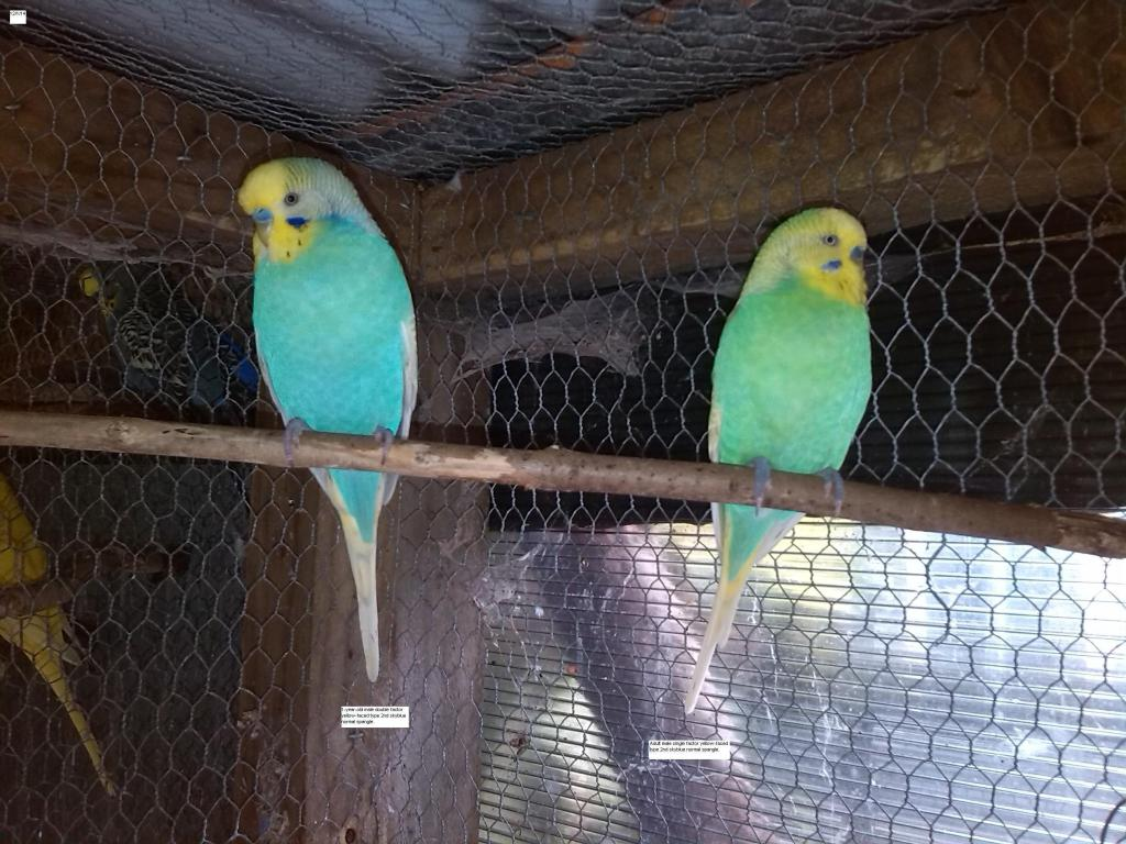 Yellow-faced skyblue budgies-img_20140112_165251.jpg