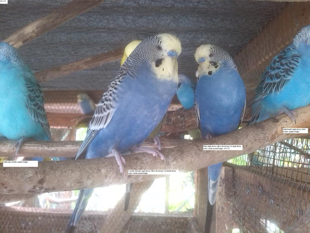 Yellow-faced violet budgies in both double & single factor-img_20150119_170637.jpg