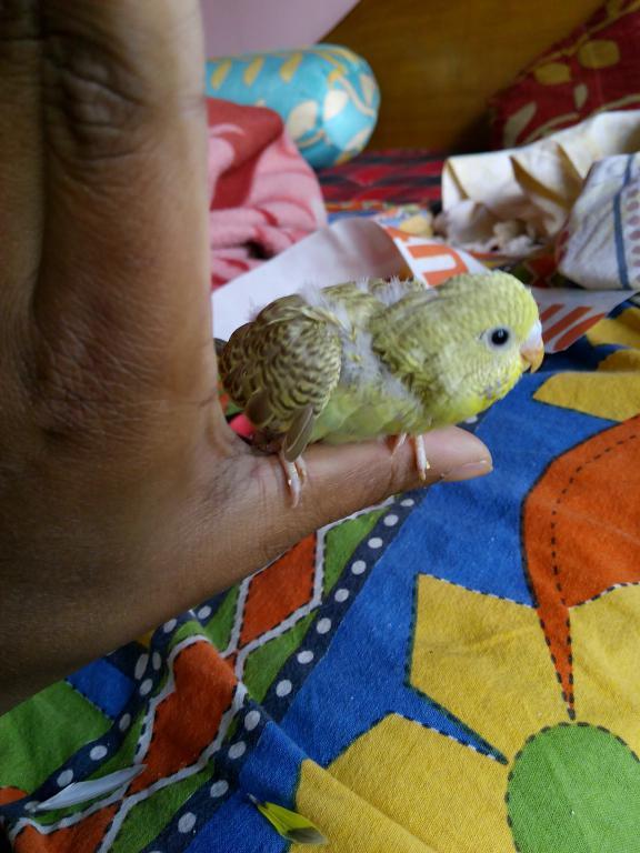 MY baby budgies growth stoped-img_20150303_090622.jpg