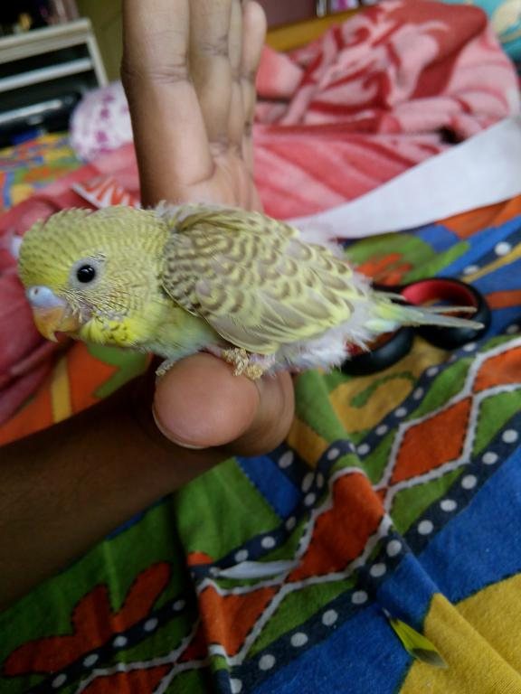 MY baby budgies growth stoped-img_20150303_090631.jpg