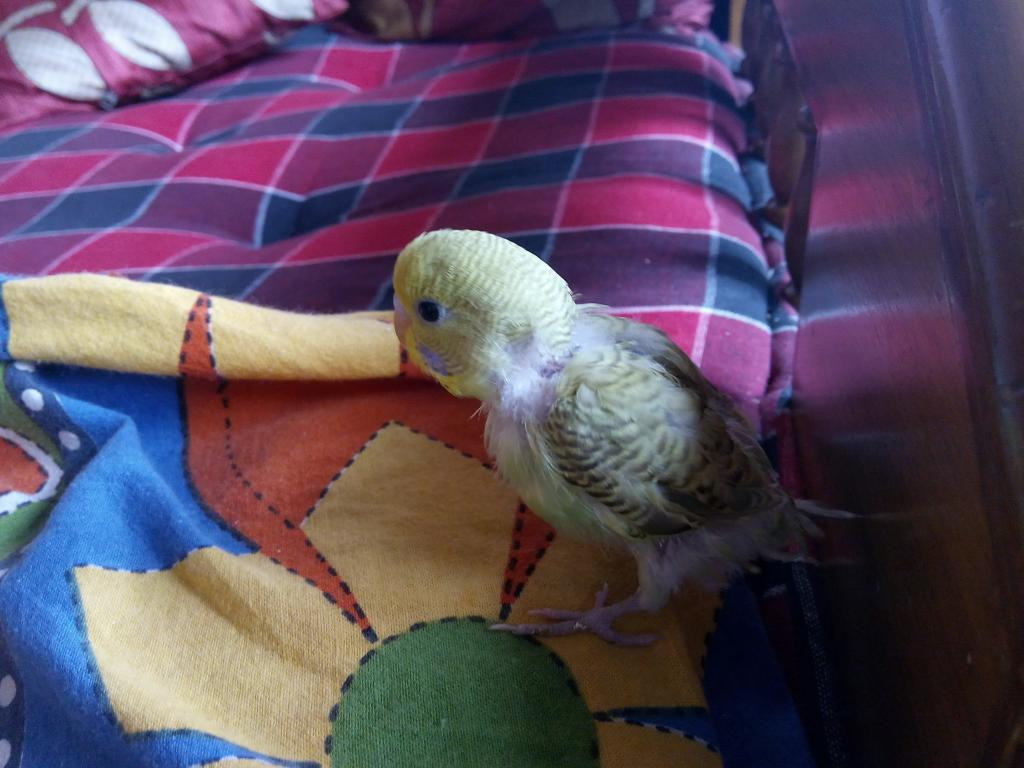 MY baby budgies growth stoped-img_20150303_091511.jpg