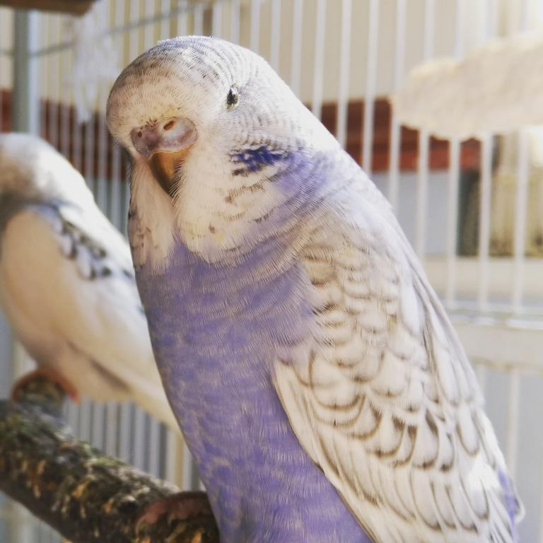 Names for a lilac/violet budgie-img_20150610_220418.jpg